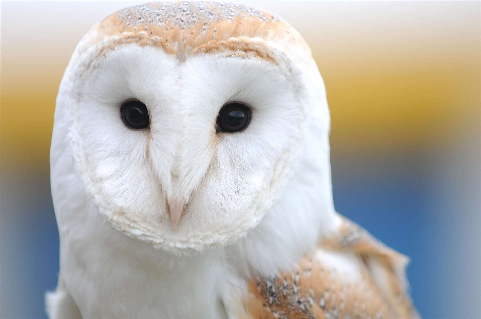 Meet a barn owl at The Beaney this Saturday (November 10)