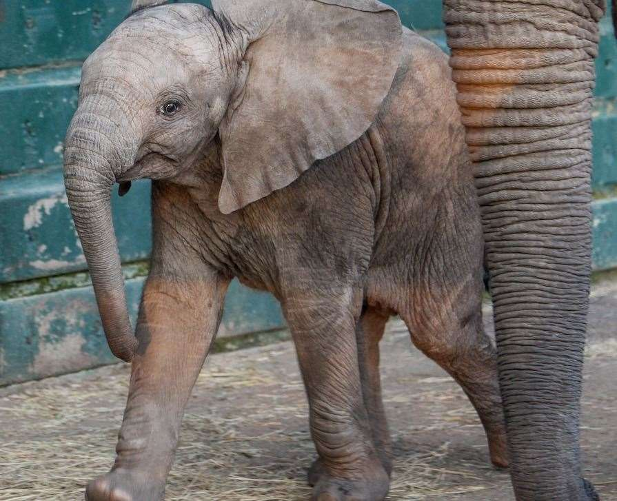 Nusu the baby elephant at Howletts