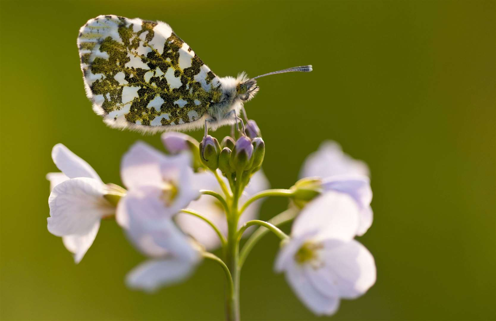 Plants can encourage caterpillars and so butterflies like the Orange Tip butterfly Picture: Ross Hoddinott