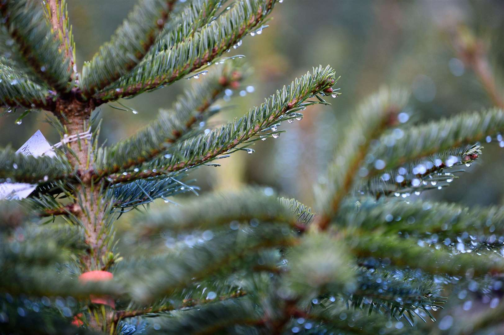 Around seven million real Christmas trees are sold each year