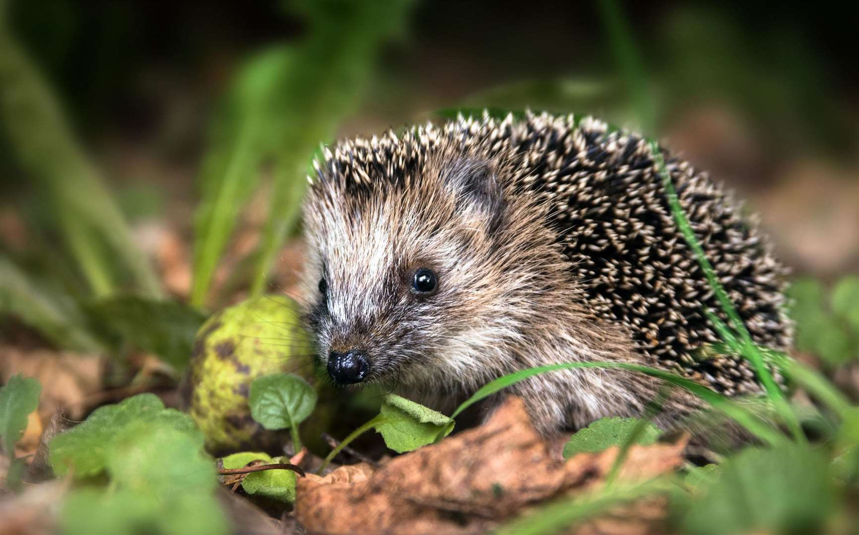 Consider creating your own hedgehog home