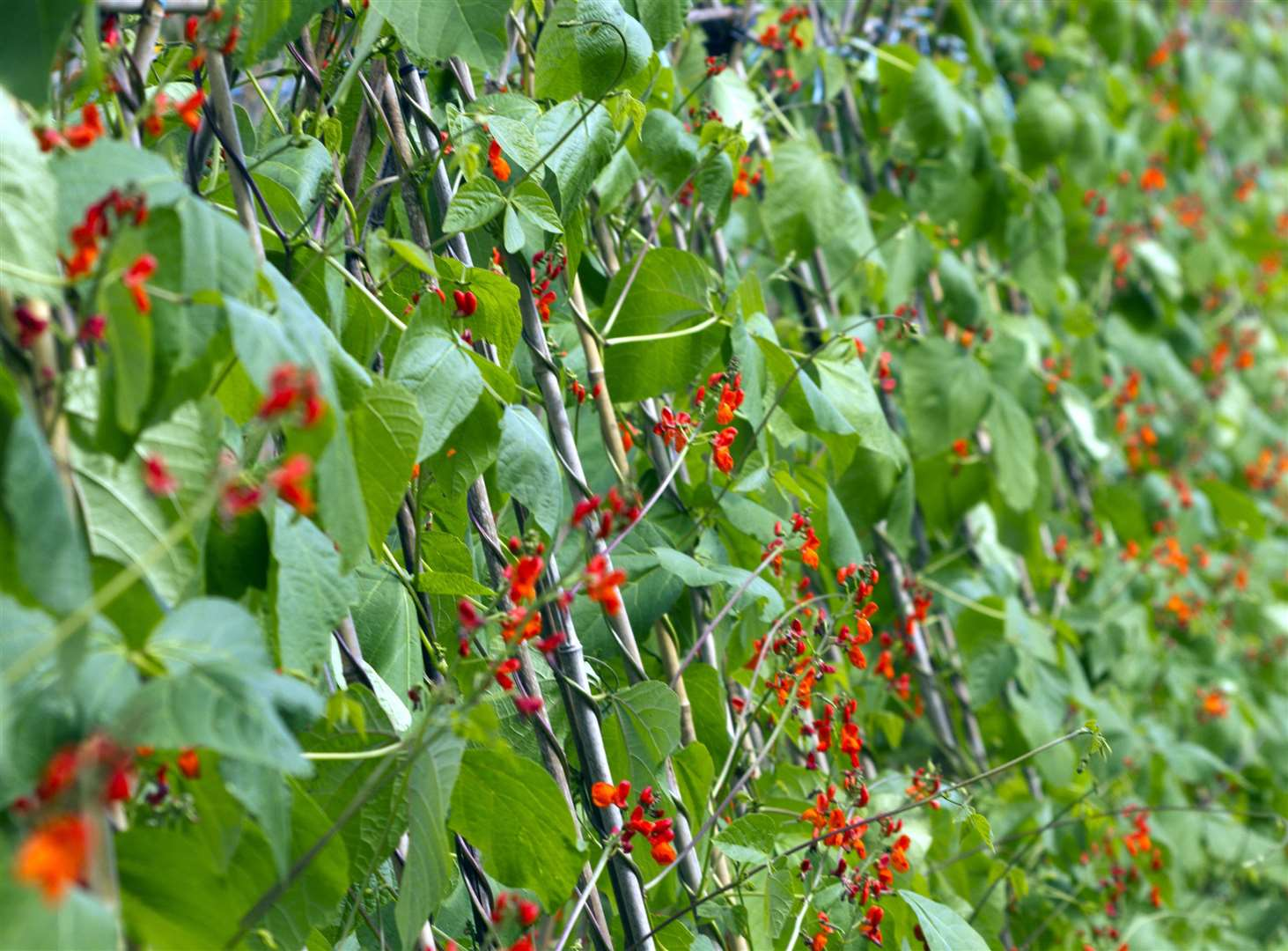 Children love sowing runner beans says Lee