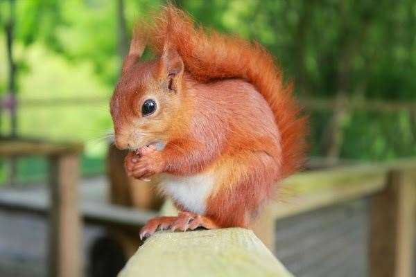 Red squirrels pictures at Wildwood