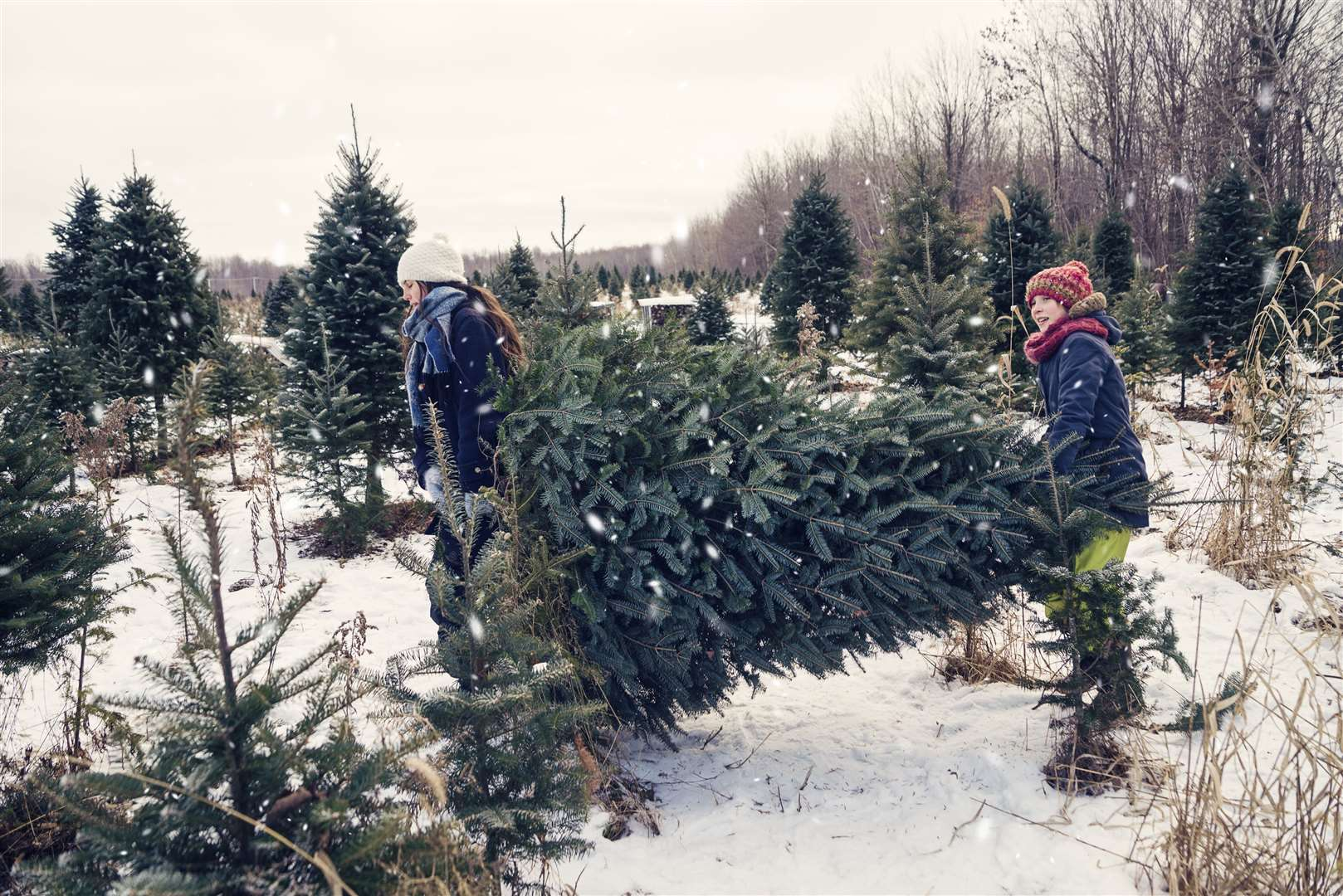 Real trees must be properly taken care of to last through the festive season
